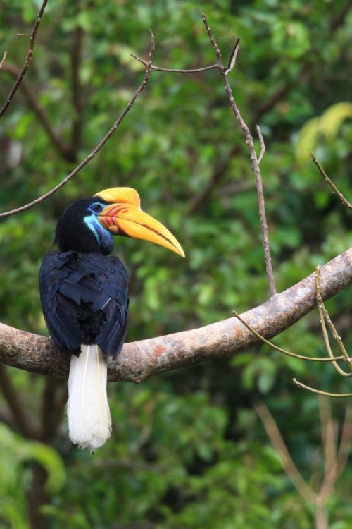 22917006 - knobbed hornbill with large colorful bill