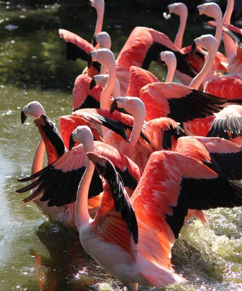 flamingos-wisbroek