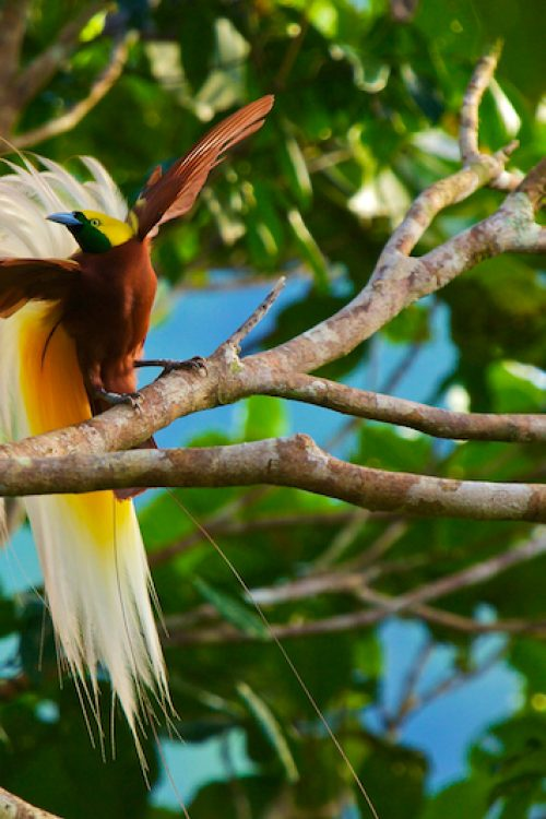 kleine-paradijsvogel