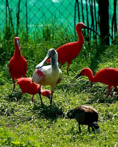 wisbroek-red-ibises-and-spoonbill
